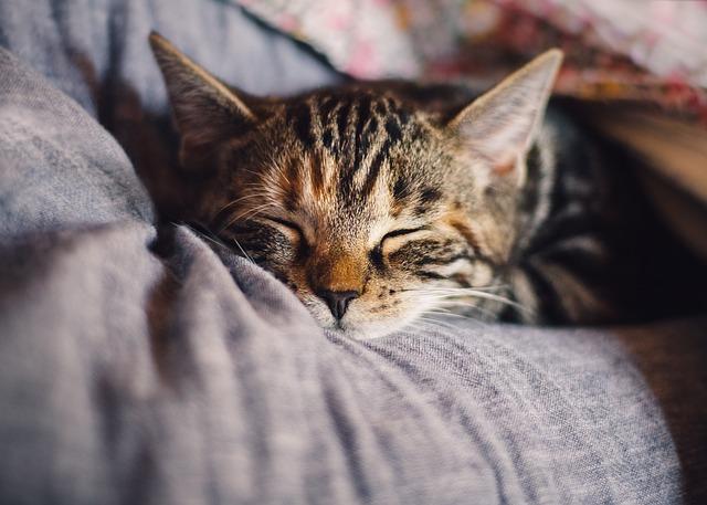 Domácí mazlíček, domov, kočka.