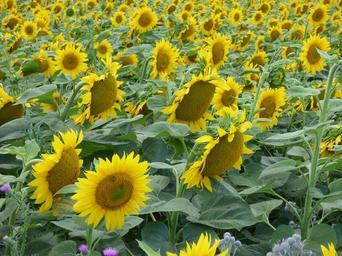 Krásné slunečnice, které i chutnají